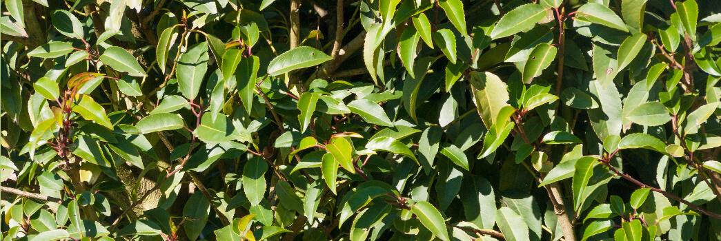 Prunus Lucitanica